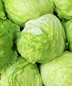 Lettuce Iceberg Vegetable